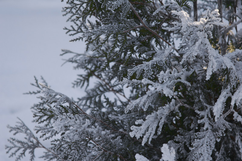 "photo ""frozen lace"" tags: nature, flowers"