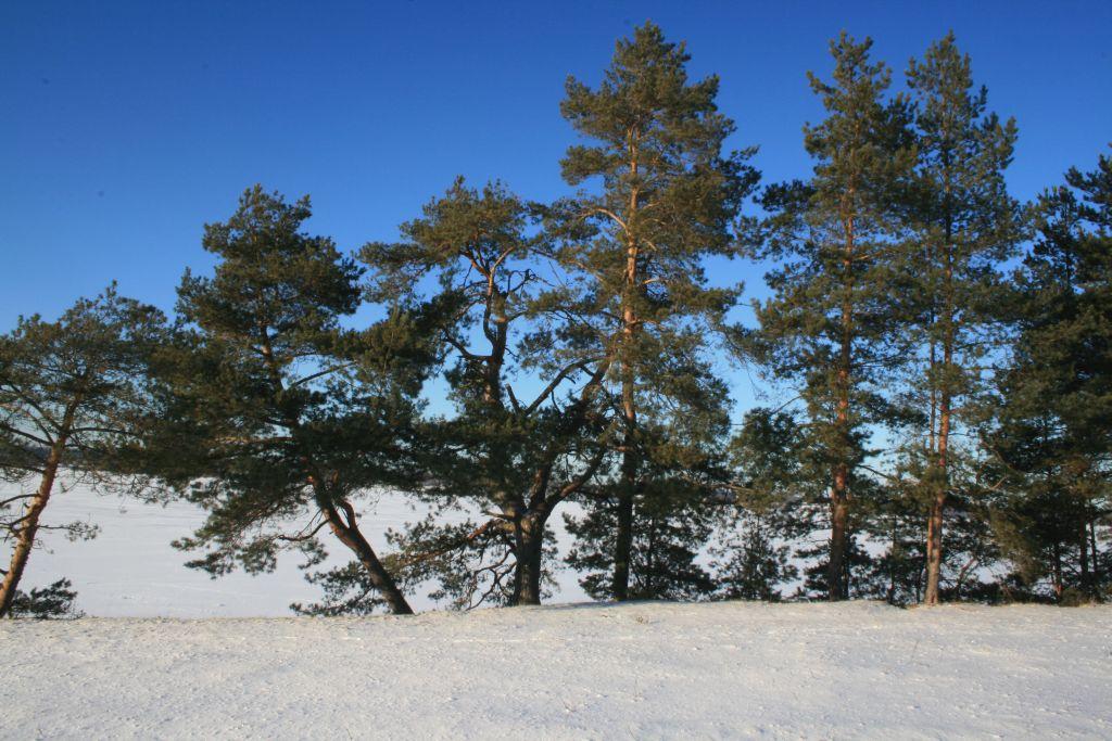 "фото ""Сосны на берегу"" метки: пейзаж, зима"