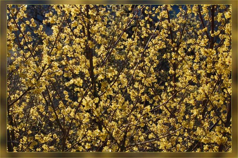 "фото ""Кизил"" метки: природа, цветы"
