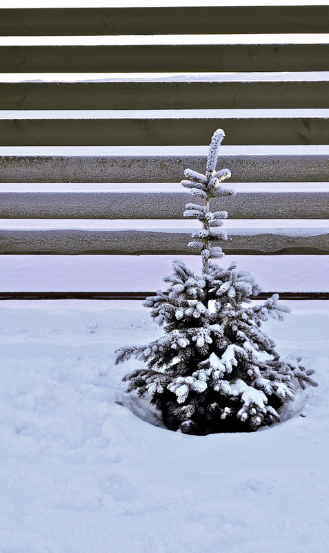 "photo ""Little fir at cold winter"" tags: nature, flowers"