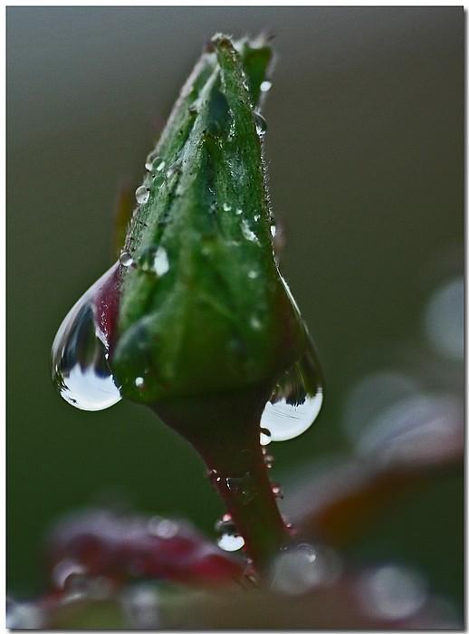 """фото """"Tears Of A Rose"""" метки: природа, макро и крупный план, цветы"""
