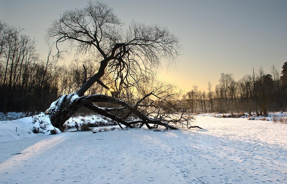 "фото ""Старая ветла"" метки: пейзаж, зима"