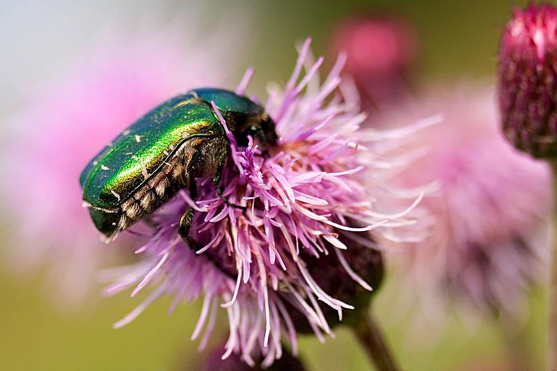 """фото """"просто жук"""" метки: природа, макро и крупный план, насекомое"""