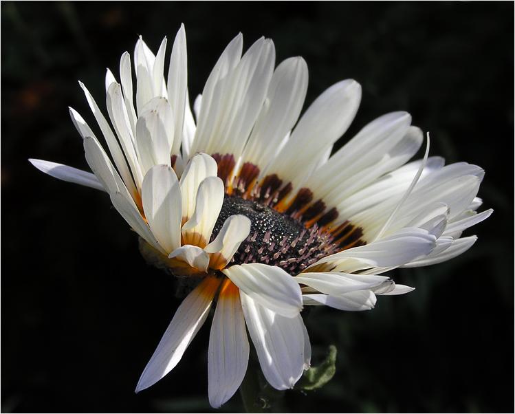 "photo ""Venidium"" tags: nature, macro and close-up, flowers"