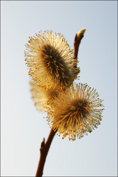 """фото """"Золотце"""" метки: природа, макро и крупный план, цветы"""