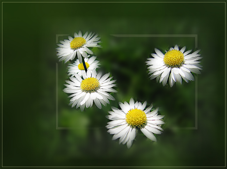 "photo ""Daisies"" tags: nature, macro and close-up, flowers"