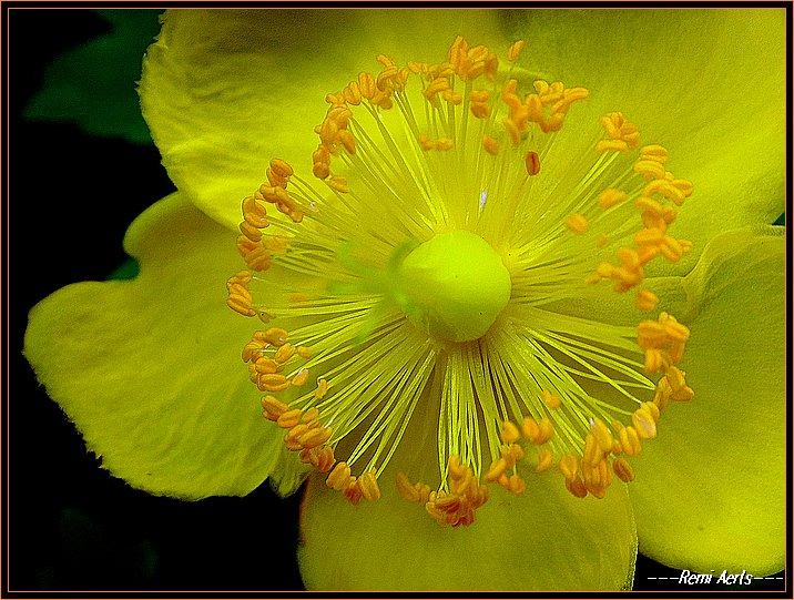 """фото """"Sunny and yellow = summer"""" метки: природа, макро и крупный план, цветы"""