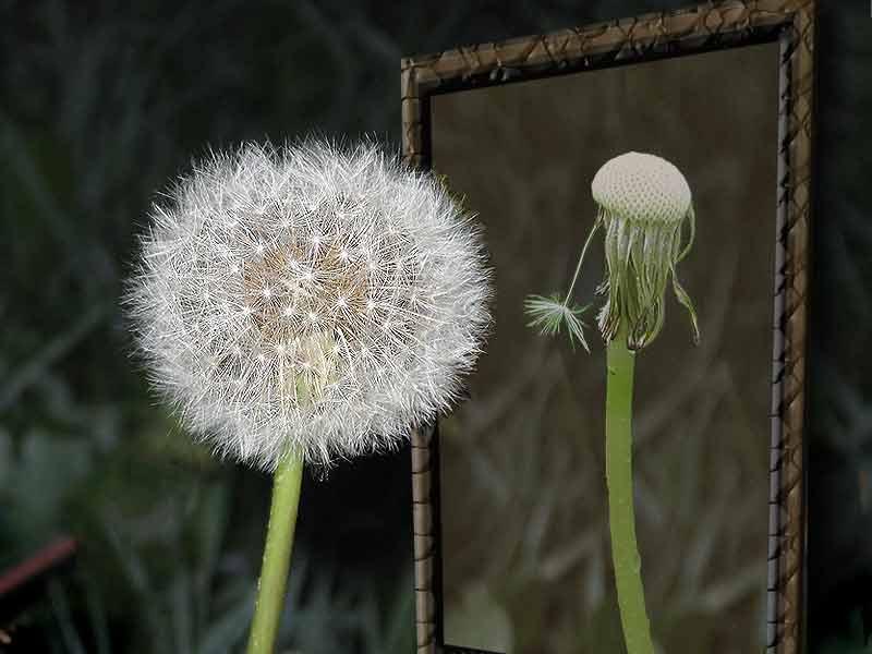 """фото """"и зеркала порою лгут..."""" метки: юмор, природа, цветы"""