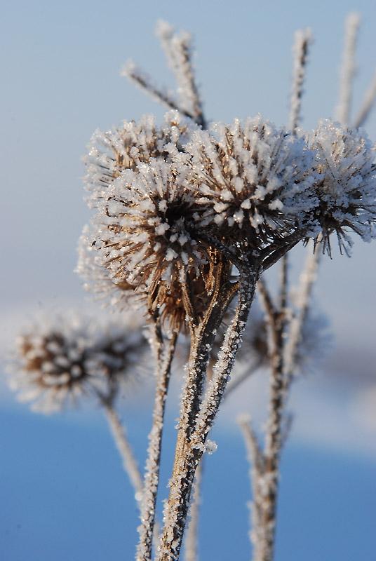 """фото """"Репейник"""" метки: природа, макро и крупный план, цветы"""