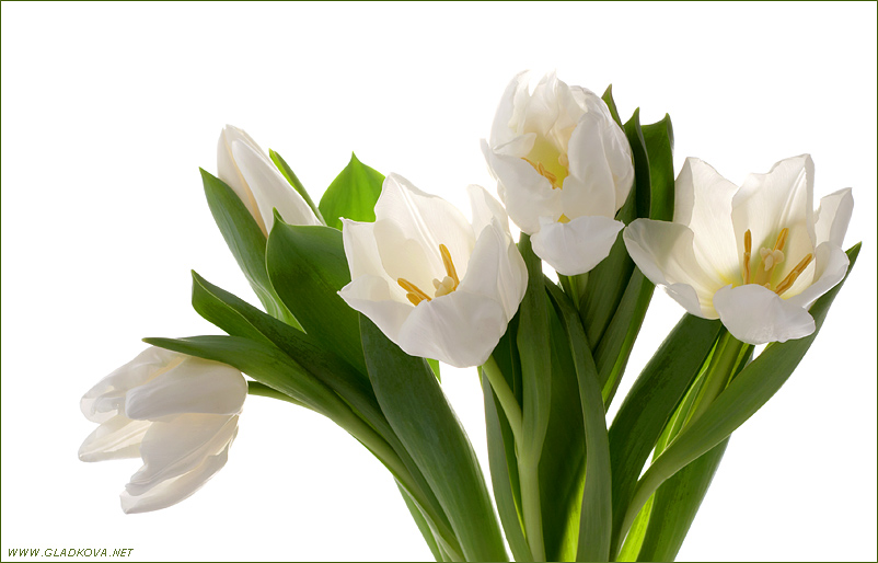 "photo ""White Tulip"" tags: nature, misc., flowers"