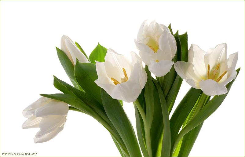 """фото """"Белые тюльпаны"""" метки: природа, разное, цветы"""