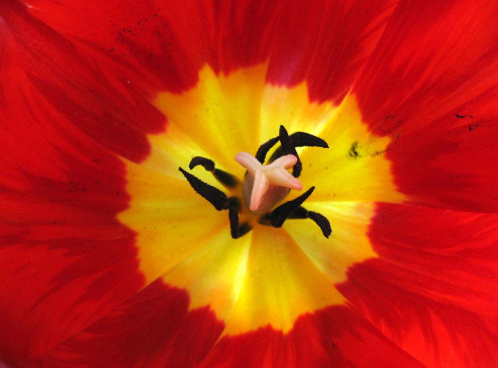 """фото """"Inside a red tulip"""" метки: природа, макро и крупный план, цветы"""