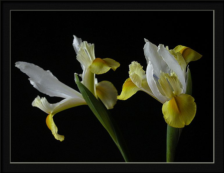 "photo ""spring yellow flag iris"" tags: still life, nature, flowers"