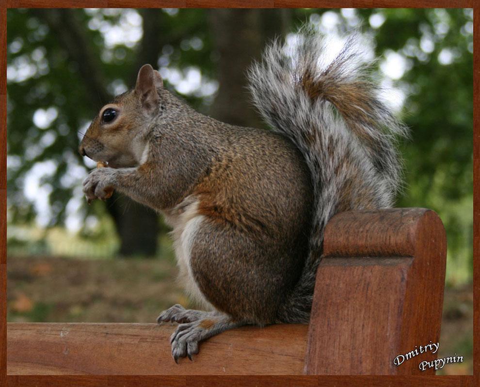 """фото """"Squirrel"""" метки: портрет, природа, дикие животные"""