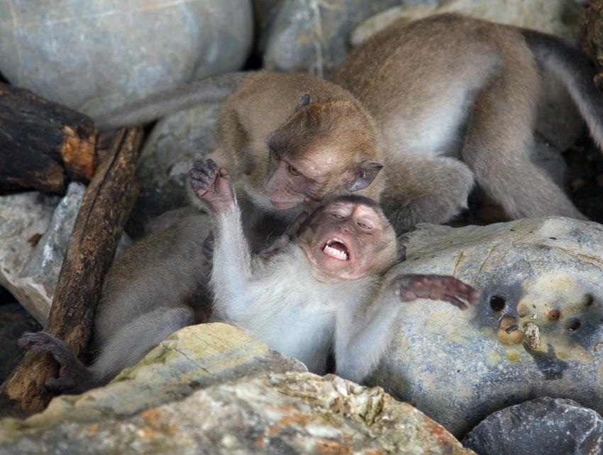 """фото """"Четыре обезьянки"""" метки: природа, путешествия, Азия, дикие животные"""