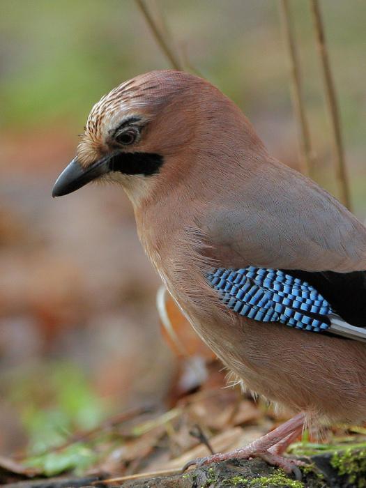"""photo """"Garrulus glandarius"""" tags: nature, wild animals"""