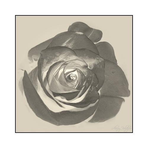 """фото """"OTHERGATES"""" метки: природа, черно-белые, цветы"""