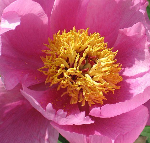 """фото """"Пион"""" метки: природа, цветы"""