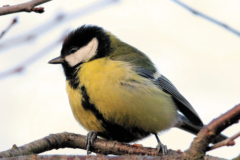 "photo ""Parus major (3)"" tags: nature, wild animals"