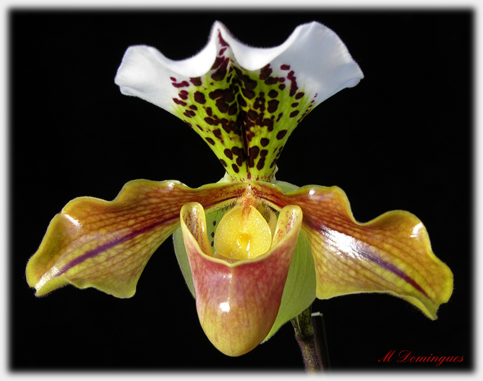 "photo ""Paphiopedilum"" tags: nature, macro and close-up, flowers"