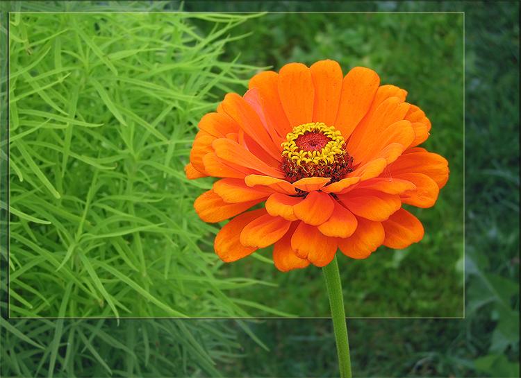 """фото """"Рыжик"""" метки: природа, макро и крупный план, цветы"""