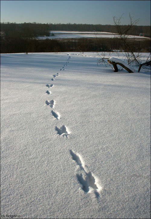 """фото """"Заячьей тропой."""" метки: пейзаж, зима"""
