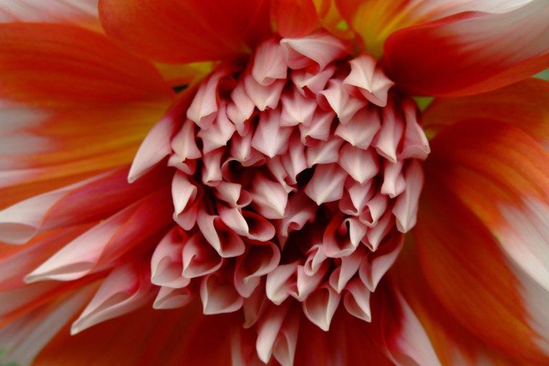 """фото """"fireflower"""" метки: природа, макро и крупный план, цветы"""