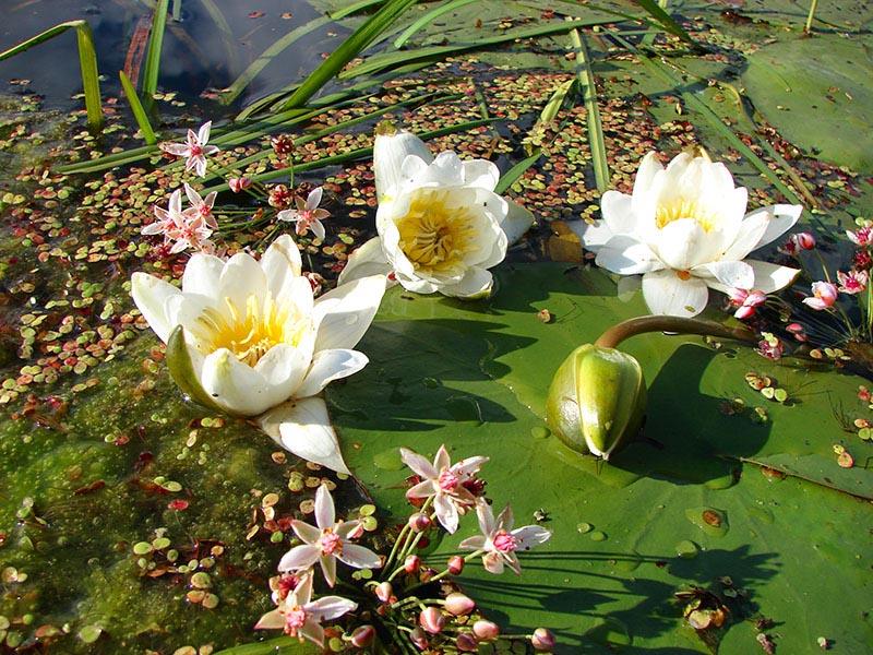 """фото """"Речные цветы"""" метки: ,"""