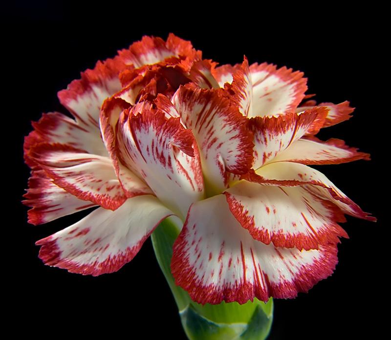 """фото """"Гвоздика."""" метки: природа, макро и крупный план, цветы"""