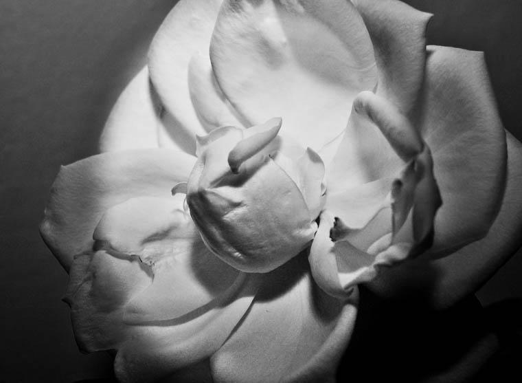 """фото """"***"""" метки: природа, черно-белые, цветы"""