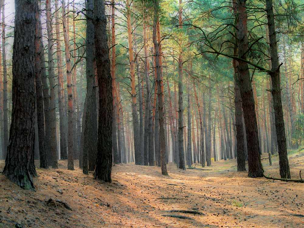 """фото """"Сосновый лес"""" метки: пейзаж, лес, осень"""