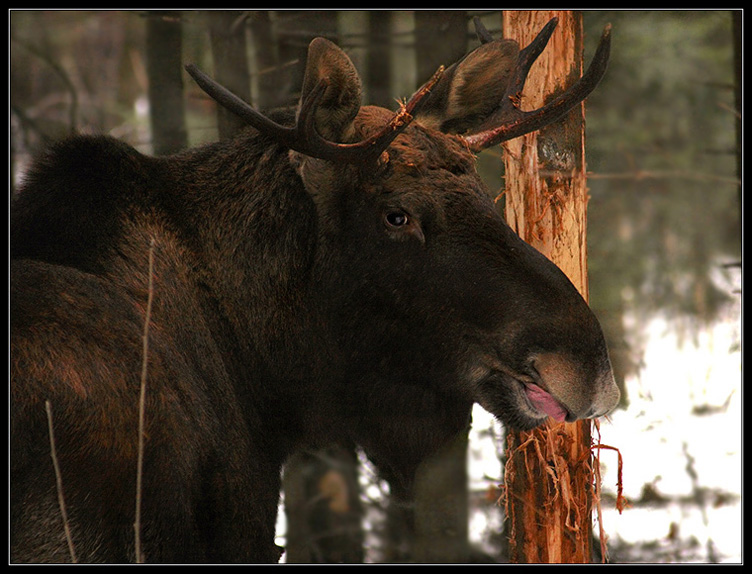 """фото """"Он оглянулся посмотреть..."""" метки: природа, дикие животные"""