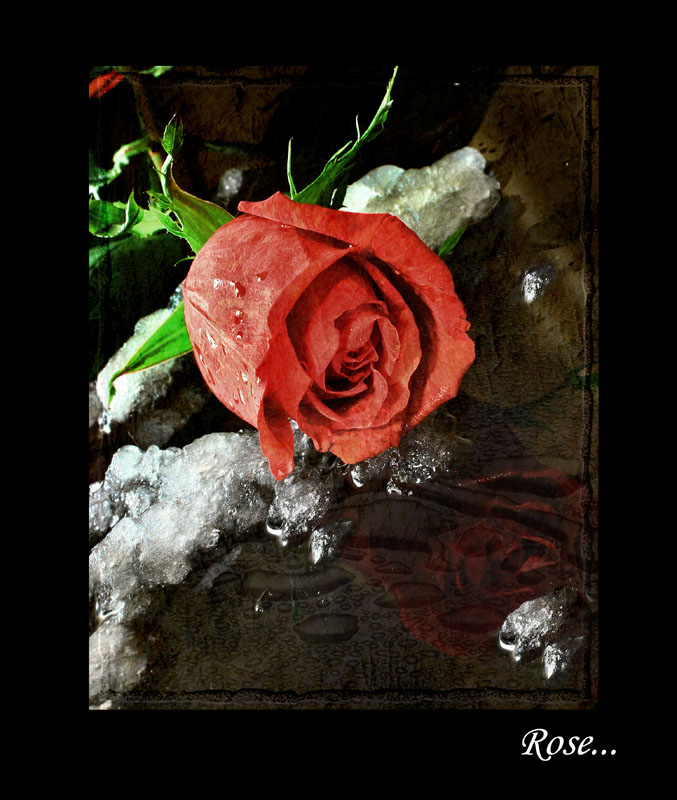 """фото """"Роза"""" метки: натюрморт,"""