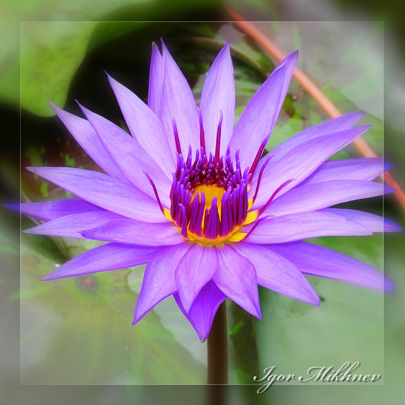 """фото """"Фиолетово красивый"""" метки: природа, цветы"""