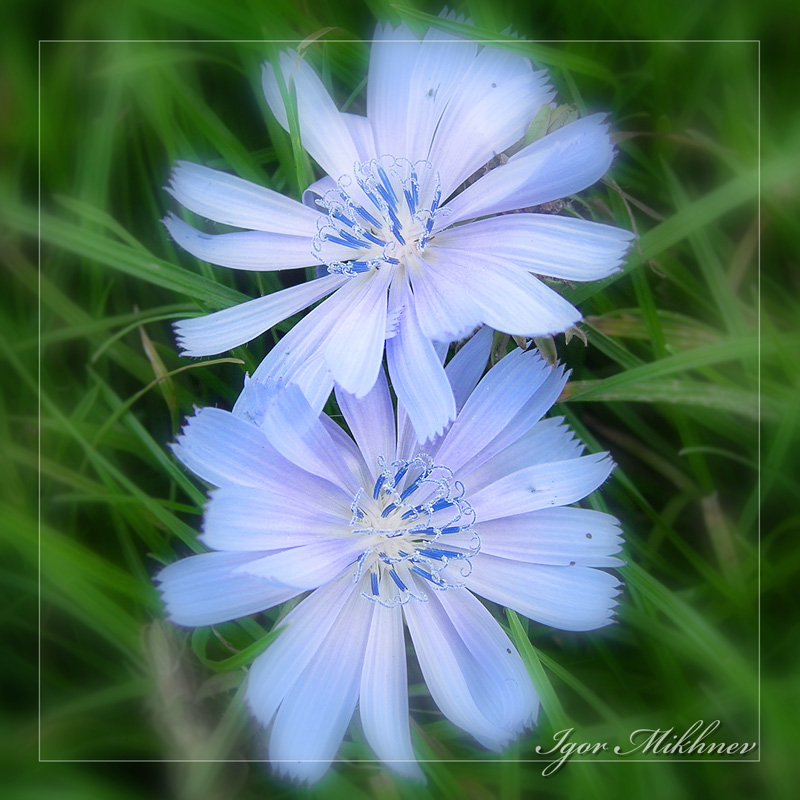 "photo ""The Blue eye of the daydream"" tags: nature, flowers"