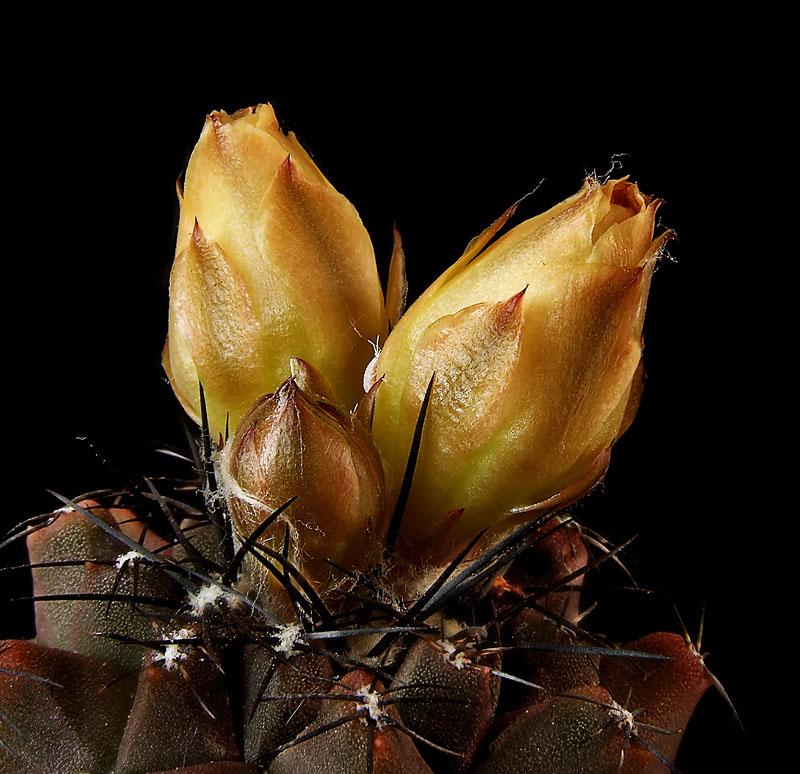 """фото """"Copiapoa - в ожидании солнца"""" метки: природа, макро и крупный план, цветы"""