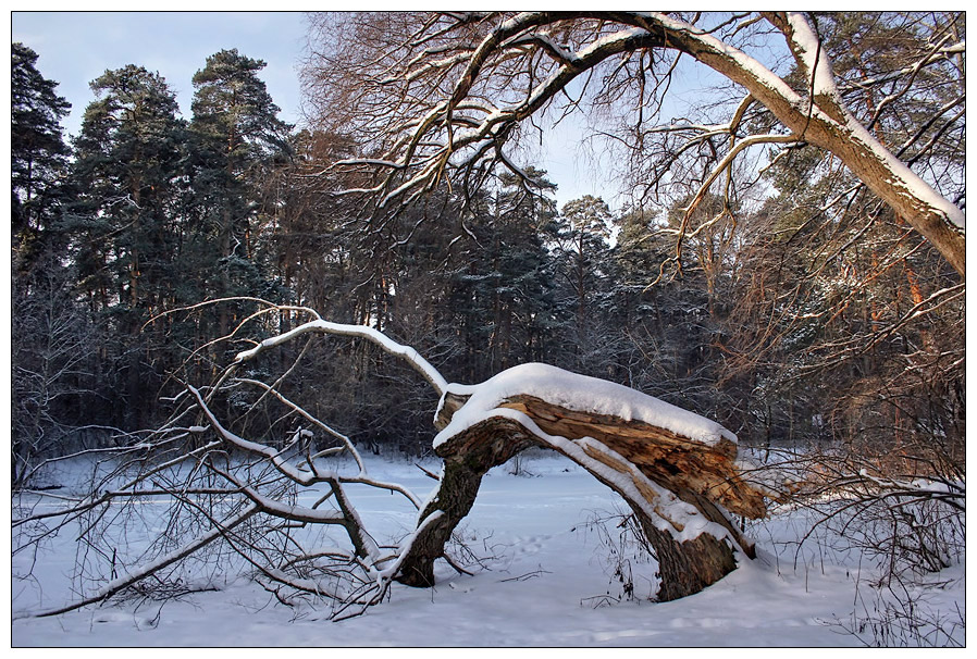 "photo ""Broken, but alive"" tags: landscape, forest, winter"