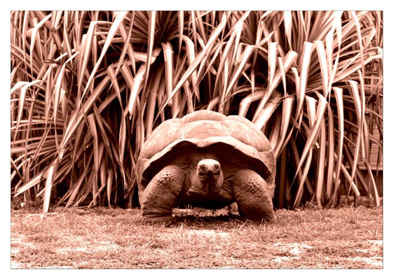 """фото """"Гигантская или сейшельская черепа."""" метки: природа, дикие животные"""