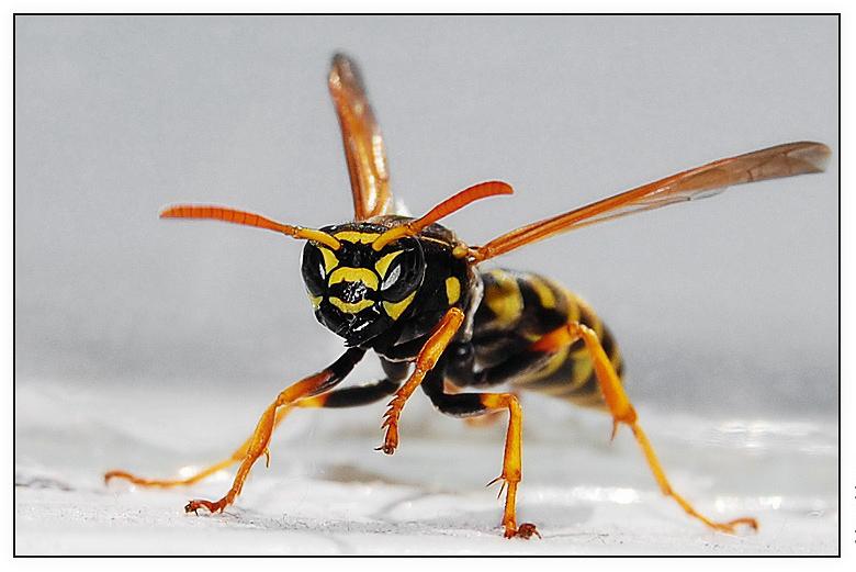 """фото """"Vespidae"""" метки: макро и крупный план, природа, насекомое"""