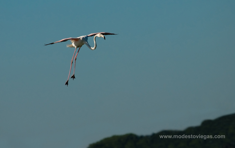 "photo ""Flamingo landing (Phoenicoterus)"" tags: nature, wild animals"