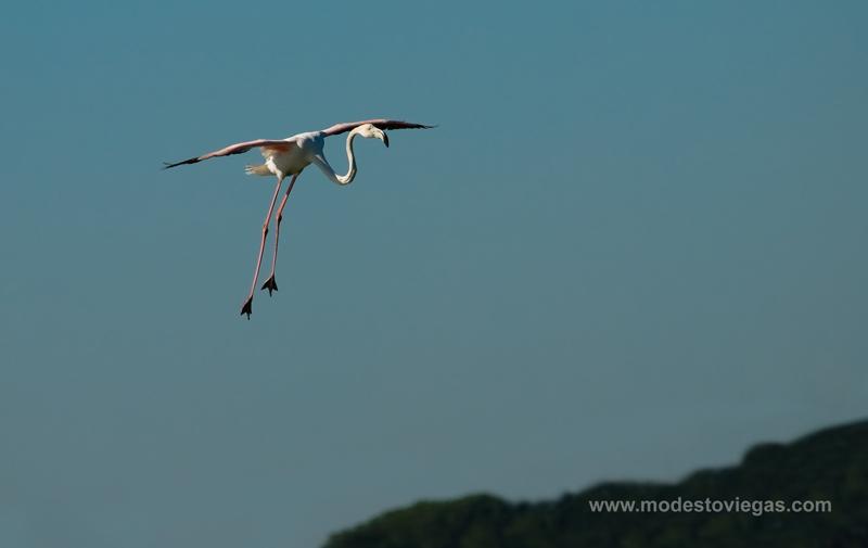 """фото """"Flamingo landing (Phoenicoterus)"""" метки: природа, дикие животные"""