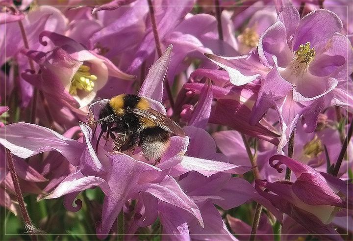 """фото """"В зарослях аквилегии"""" метки: природа, насекомое, цветы"""