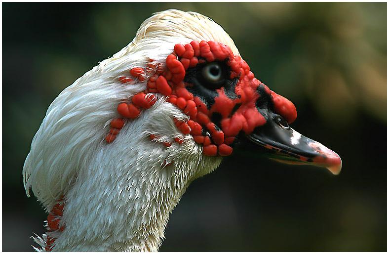 """фото """"А в душе - Павлин :-)"""" метки: природа, дикие животные"""