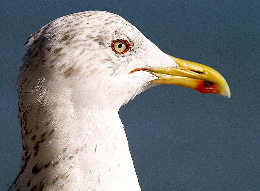 "photo ""A Beautiful and Glamurous seagull..."" tags: nature, travel, Africa, wild animals"