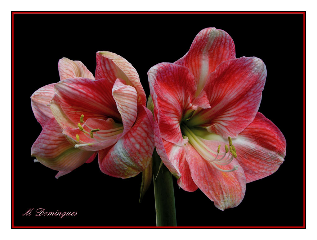 "photo ""hippeastrum"" tags: nature, macro and close-up, flowers"