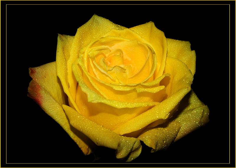 """фото """"gold"""" метки: природа, макро и крупный план, цветы"""