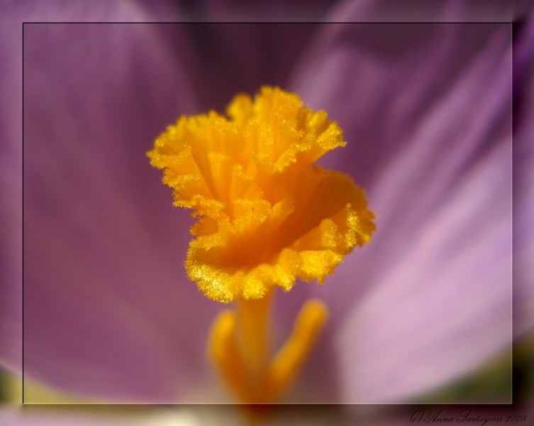 """photo """"Crocus"""" tags: macro and close-up, nature, flowers"""