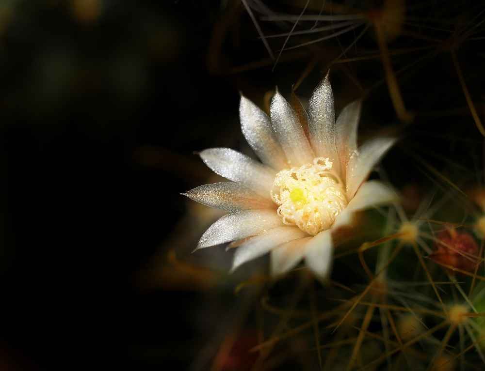 "photo ""cactus"" tags: still life, nature, flowers"