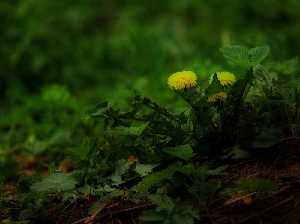 "photo ""Dandelion Head"" tags: nature, still life, flowers"