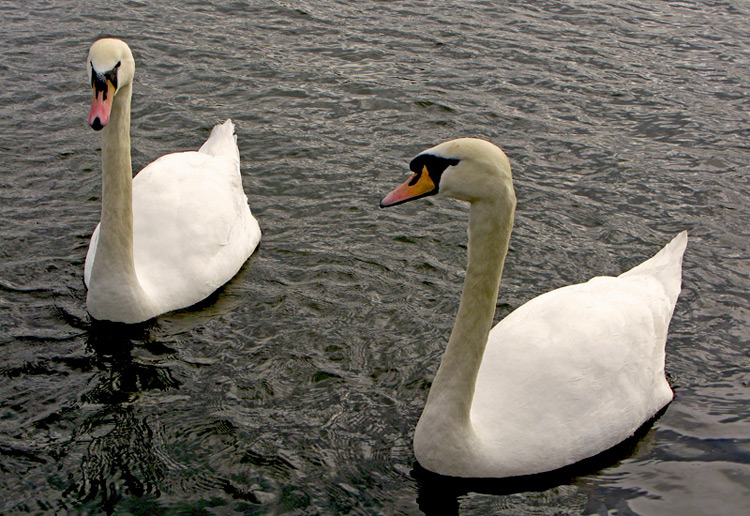 "photo ""The Swans"" tags: nature, pets/farm animals"